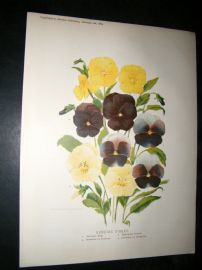 Amateur Gardening 1889 Antique Botanical Print. Bedding Violas
